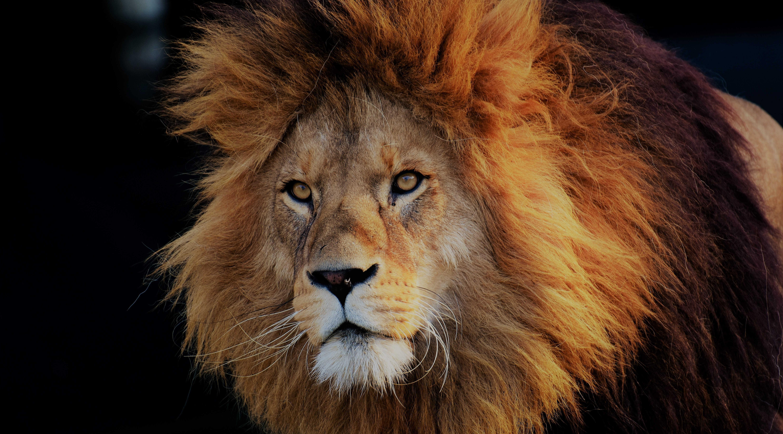 lion-3040797