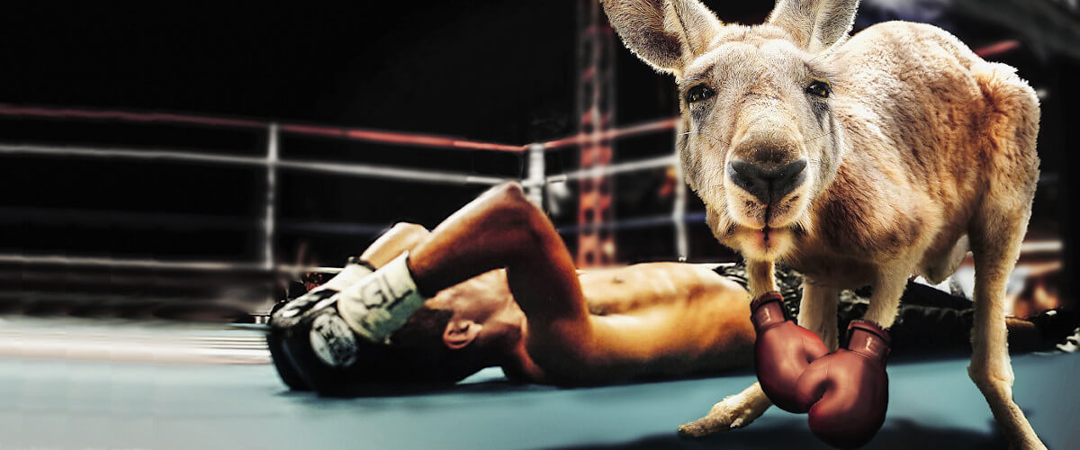 A fit kangoroo that has just won a boxing match agains a man